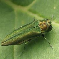 Hơn 8 tỉ cây tại Bắc Mỹ có nguy cơ biến mất chỉ vì một loài bọ xâm thực