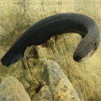 Nhà khoa học giật bắn người khi hứng cú chích của lươn điện