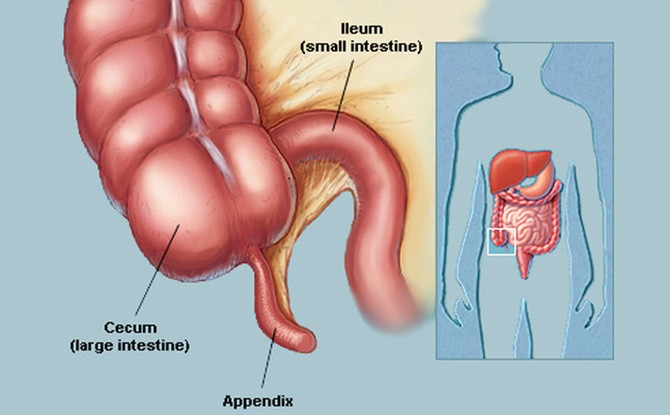 Ruột thừa là cơ quan còn sót lại trong suốt quá trình tiến hóa.