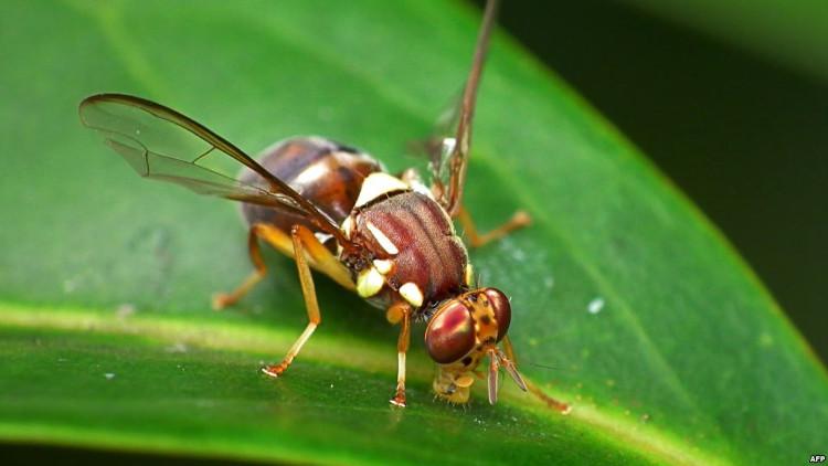 Mạng lưới thị giác trong não một ấu trùng ruồi giấm gồm 130 tế bào