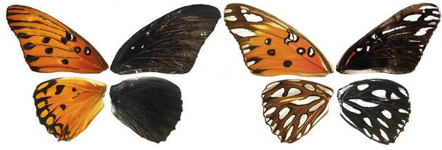 Khi các nhà nghiên cứu sử dụng công nghệ chỉnh sửa gene màu sắc của cánh bướm đã chuyển sang chỉ còn đen và trắng