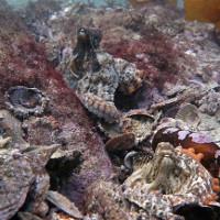 """""""Thành phố bạch tuộc"""" dưới đáy biển Australia"""