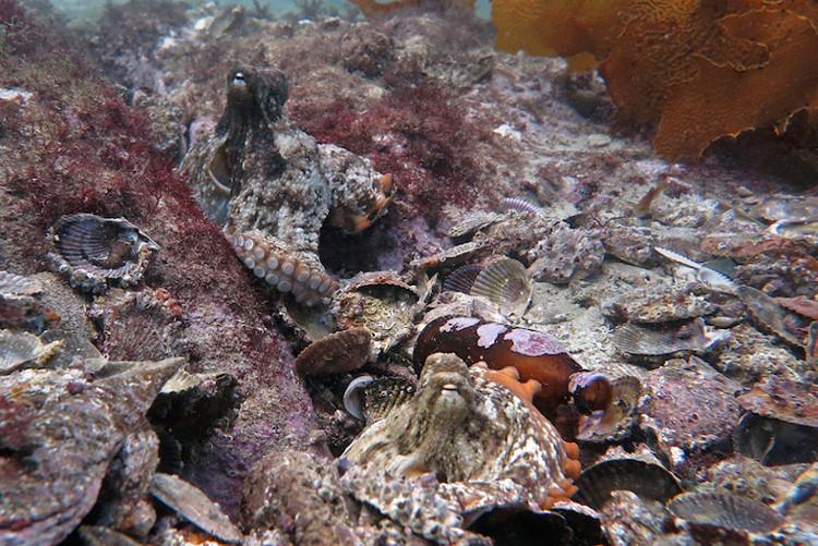 Thông thường, bạch tuộc chỉ gặp gỡ nhau để giao phối, sau đó lại tách ra.