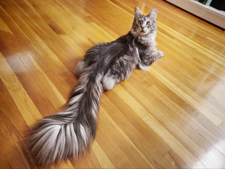 Mèo Cygnus.