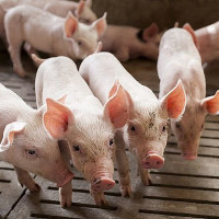 Thí nghiệm phân hủy 3 tấn xác lợn chết trong tự nhiên