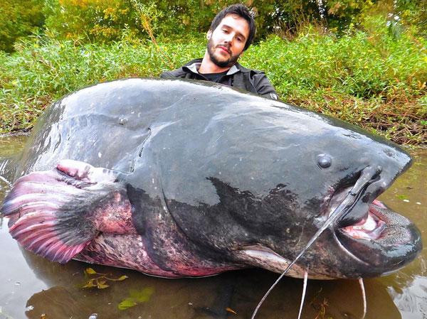 Đây là mộ loài cá nheo lớn với chiều dài lên cơ thể gần 3 mét.