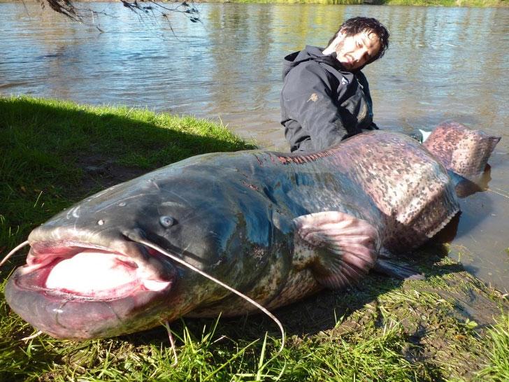 Chiều dài của con cá nheo này là cực hiếm.