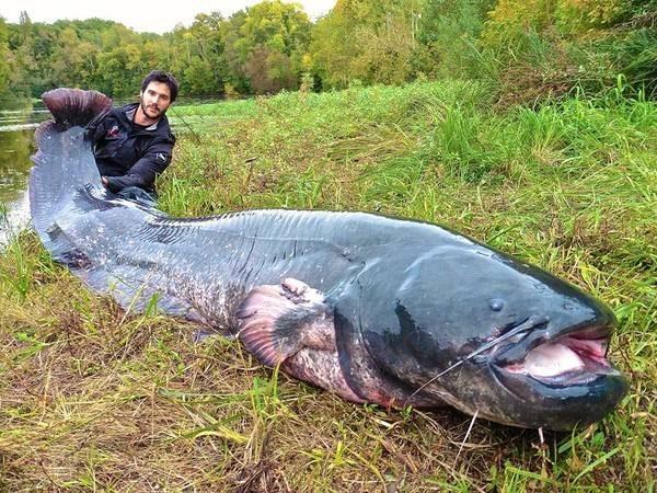 Cá da trơn khổng lồ.