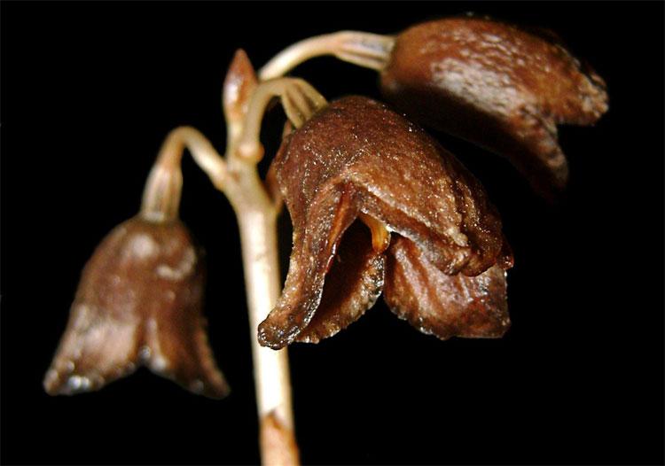 """Trúc lan Gastrodia là một phần của """"phong lan ma""""."""