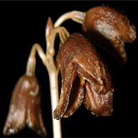 """Phát hiện một loài """"phong lan ma"""" ở Indonesia"""