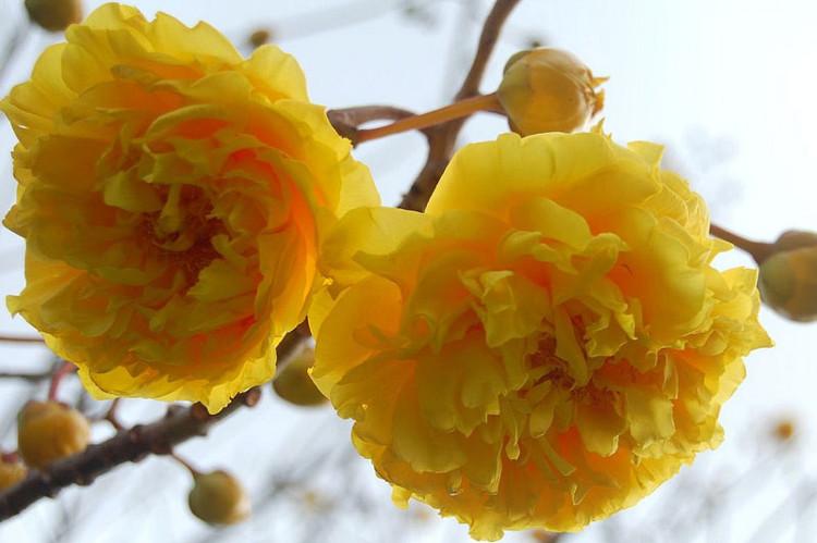 Cây mai hoa đăng có nguồn gốc từ Myamar (Miến Điện), Indonesia và Ấn Độ.