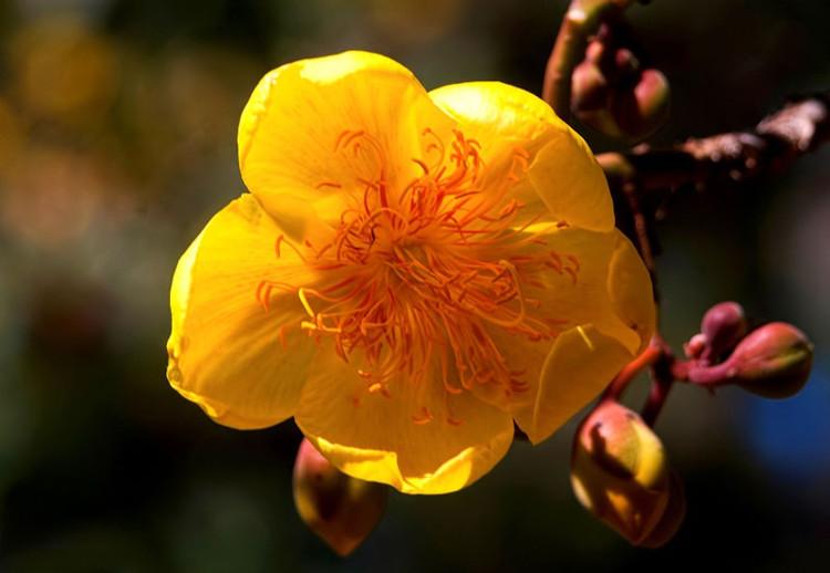 Hoa thường nở hoa từ tháng 2-4 khi các lá đã rụng và kết quả từ tháng 3-6.