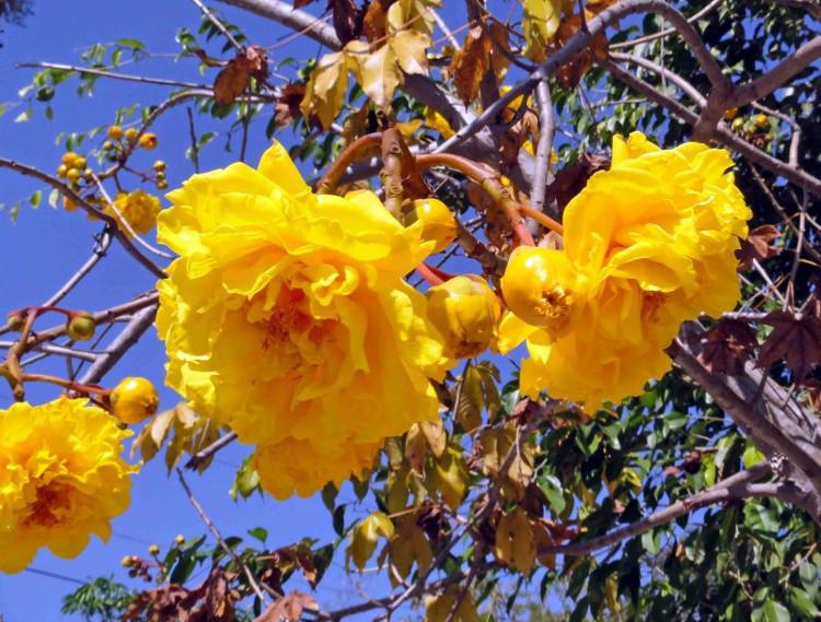 Cây mai hoa đăng phát triển tốt trong vùng khí hậu nhiệt đới và cận nhiệt đới