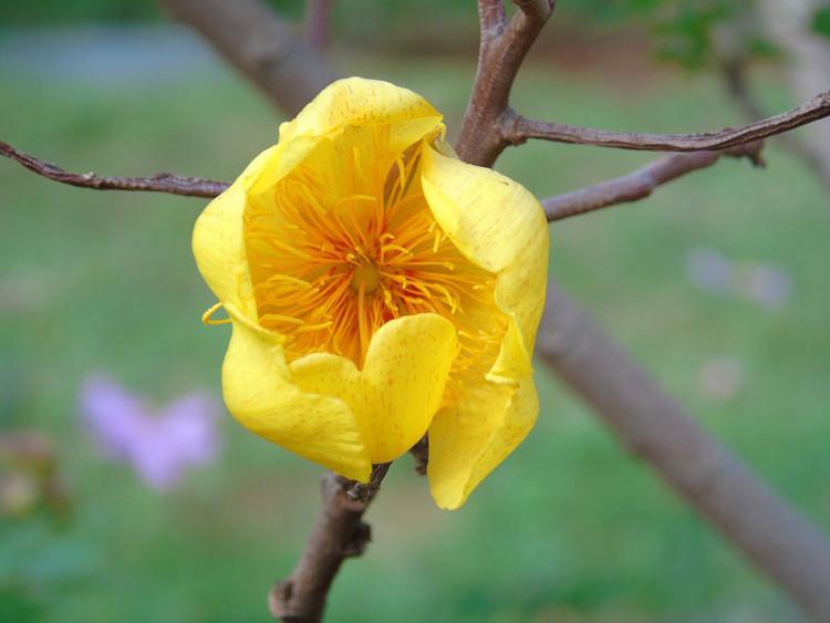 Cây thường được nhân giống bằng hạt, chiết cành, giâm hom.