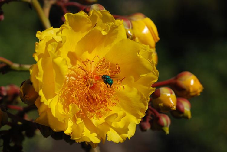 Tại Thái Lan, mai hoa đăng là loài cây biểu tượng của tỉnh Nakhon Nayok.