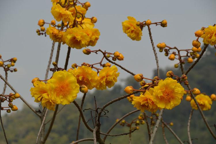 Ở môi trường tự nhiên, cây mai hoa đăng thường cao khoảng 7,5m