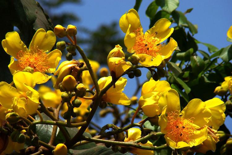 Ở môi trường nuôi trồng, cây mai hoa đăng thường được trồng chậu chưng trong nhà hoặc trước hiên