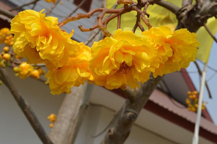 Cây mai hoa đăng còn có giá trị trong ngành công nghiệp dược phẩm và mỹ phẩm.