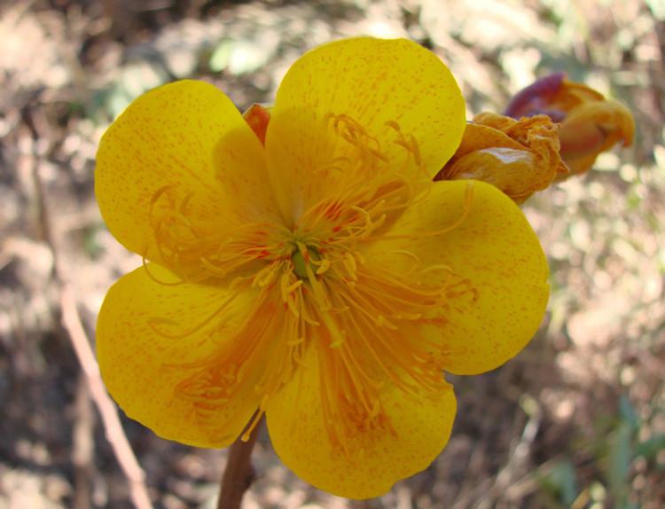 Cây mai hoa đăng có lá đơn, xẻ 3 - 5 thùy như bàn tay, so le nhau, không có lá kèm.