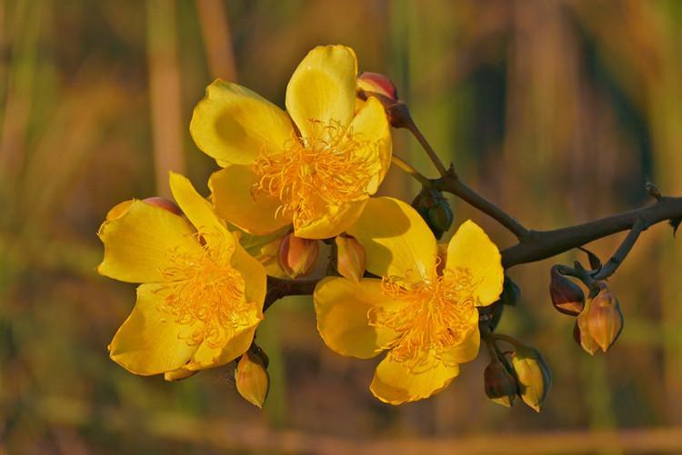 Cây có hoa lưỡng tính, thơm, đường kính 7,5 - 10cm.