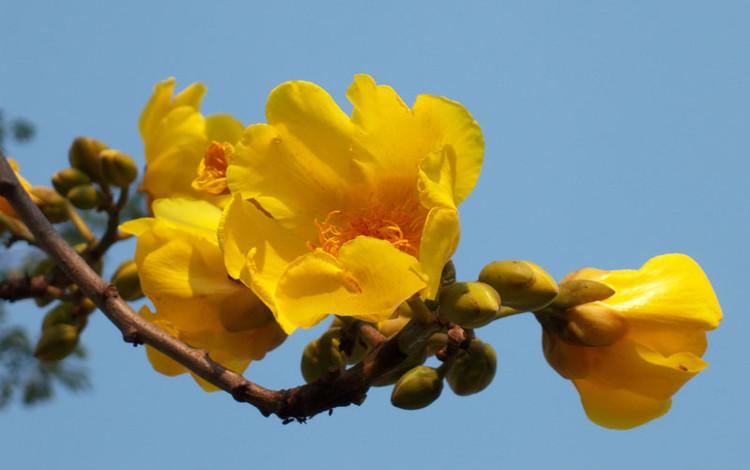 Cây mai hoa đăng có quả nang tự nứt, dạng trứng ngược hoặc dạng quả lê