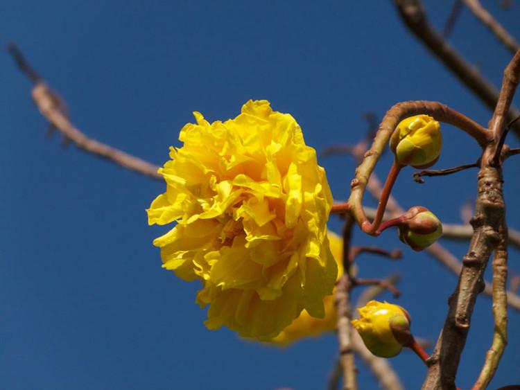 Cây mai hoa đăng có tên khoa học là Cochlospermum religiosum.