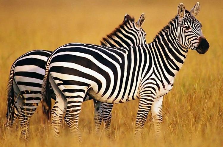 Ngựa vằn