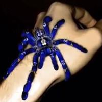 Loài nhện tiến hóa thành màu xanh điện quang khác thường
