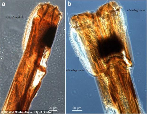 Bộ máy chọc thủng da của ruồi tsetse dưới kính hiển vi quang học.