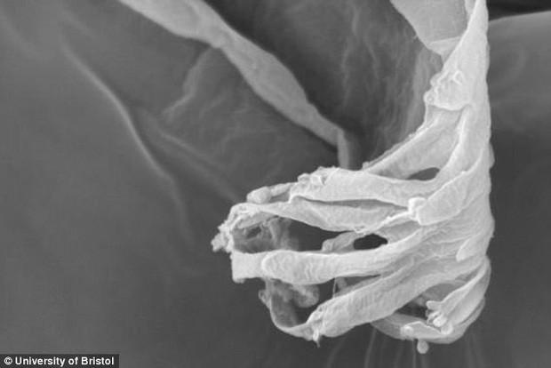 Ống tiết nước bọt nằm phía trong vòi của ruồi tsetse với các cấu trúc hình ngón tay kèm bơm hút ở đầu ống.