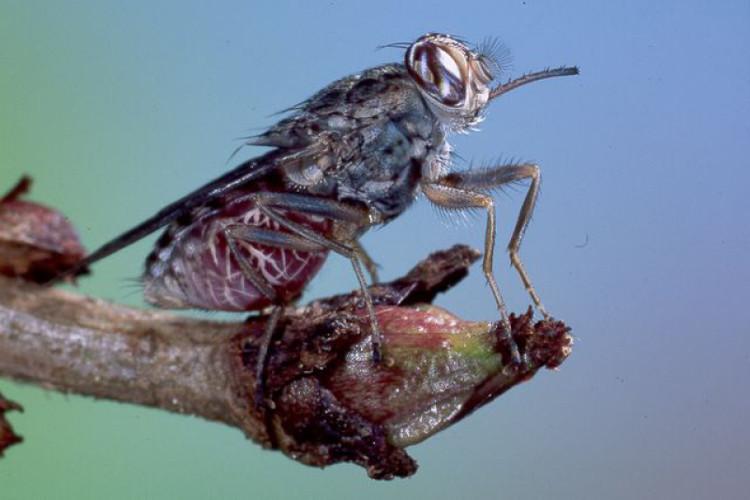 Ruồi Tsetse châu Phi (hay ruồi xê xê)