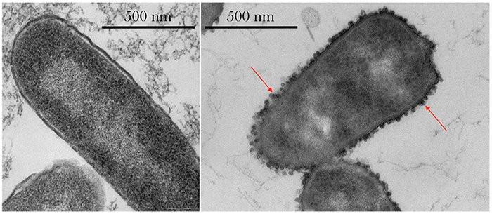 Các vi khuẩn khi ở trên trạm vũ trụ (phải) đã phát triển thêm túi khí.
