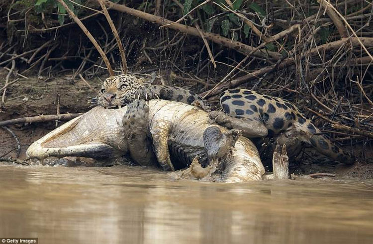 Báo gấm săn cá sấu