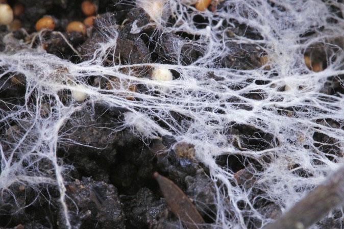 Hệ sợi của nấm tiêu hóa được cả nhựa.