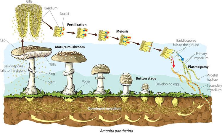 Quá trình quang hợp hữu ích cho môi trường của nấm.