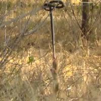 Cầy mangut kéo đu xác rắn kịch độc trên cây để ăn thịt