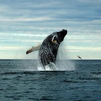 Biến đổi khí hậu, số lượng cá voi giảm nghiêm trọng