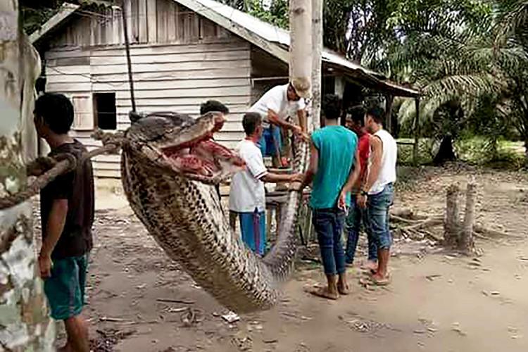 Trăn khổng lồ dài 7 mét bị dân làng Indonesia buộc vào gốc cây.