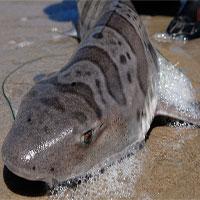 2.000 con cá mập bị ăn não, trôi dạt vào bờ biển Mỹ