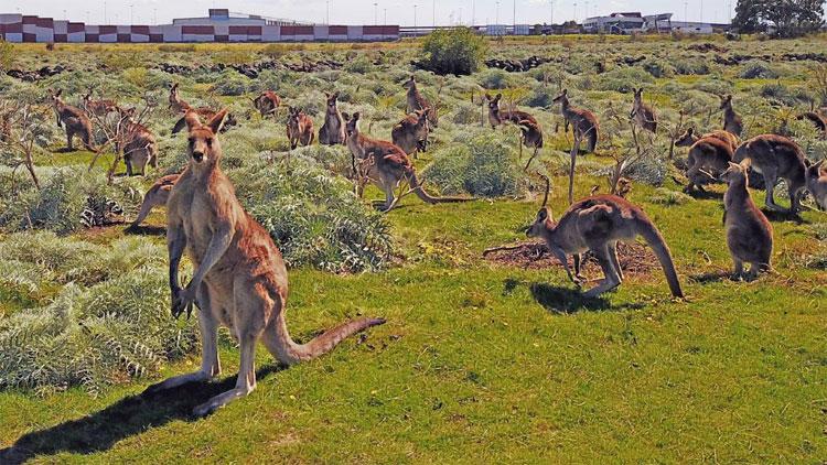Kangaroo sinh sôi quá nhanh có thể đe dọa hệ sinh thái ở Australia.