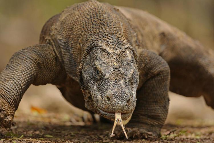 Nước bọt của rồng Komodo có chứa chất độc cùng hơn 50 chủng vi khuẩn khác nhau