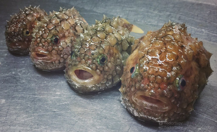 Cá lumpsucker