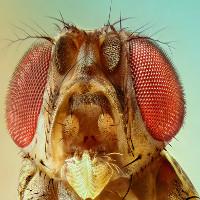 Ruồi giấm - loài vật góp công trong 6 giải Nobel