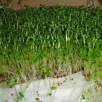 Kỹ thuật trồng cây rau mầm bằng khăn giấy đơn giản bất ngờ
