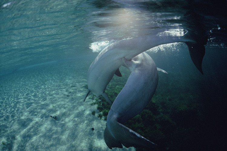 Cá heo mũi chai biến đổi bộ phận sinh dục để ngăn cản con đực thụ tinh.