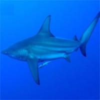 Bất ngờ: Loài cá mập câu được ở Quảng Ninh bị liệt vào sách Đỏ