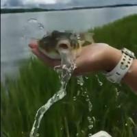 Cá nóc căng phồng ồ ạt phun nước để trở lại nguyên hình