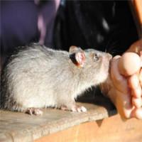 Tổng quan về bệnh sốt chuột cắn - Sodoku