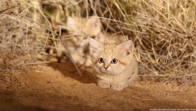 Mèo sa mạc.