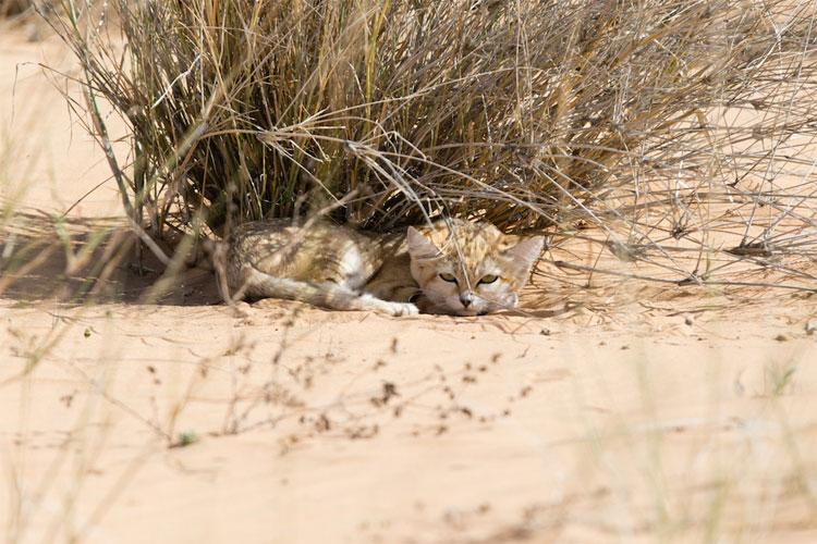 Mèo cát
